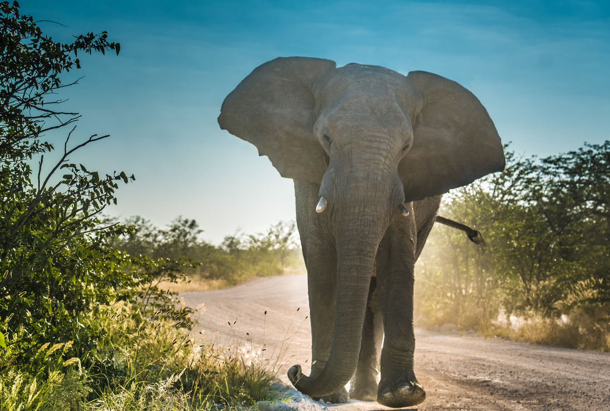 An elephant in musth (Source: iStock by Getty Images)