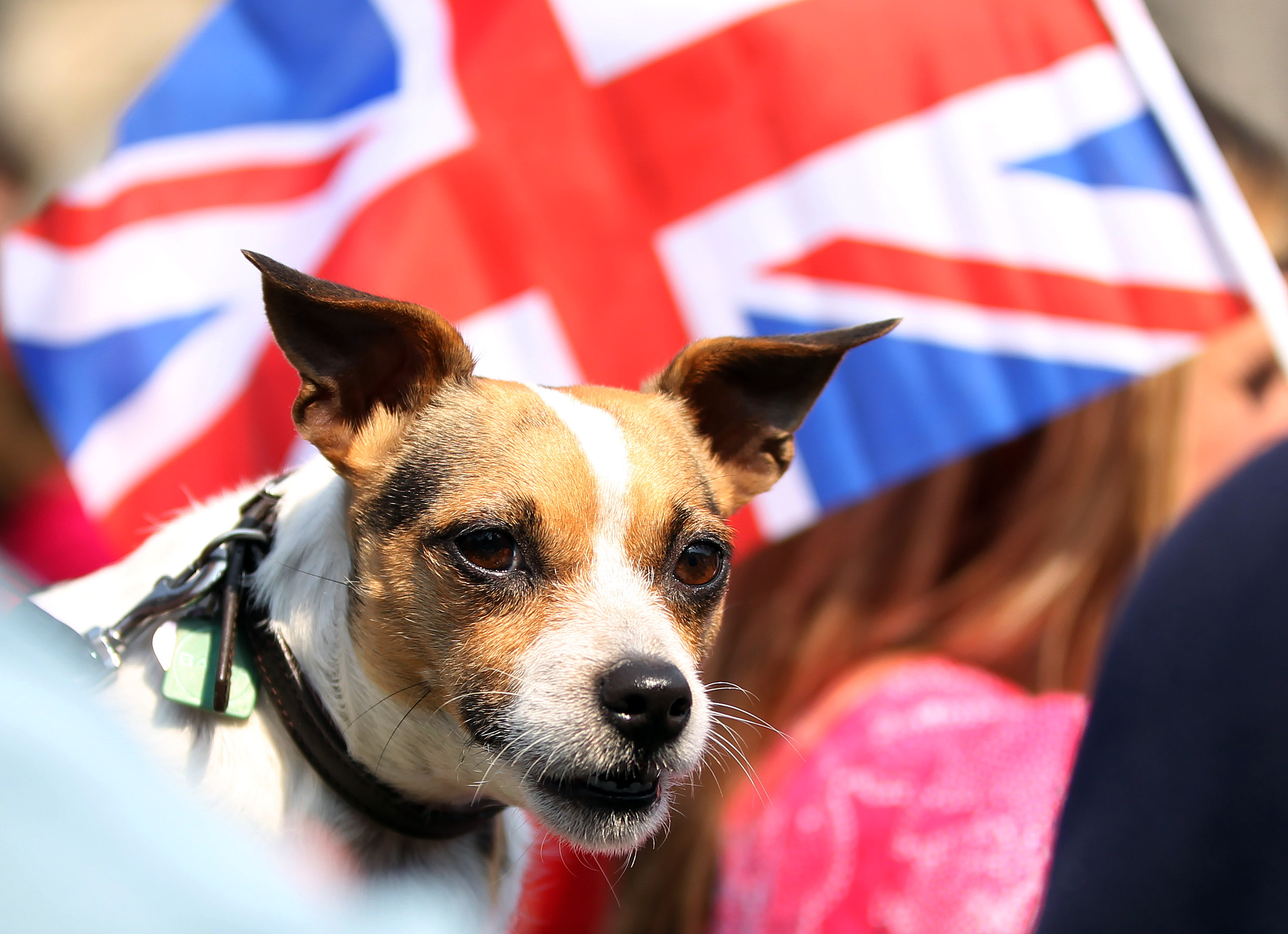 Representative picture of the breed Jack Russell terrier. (Photo by Ian MacNicol/Getty Images)