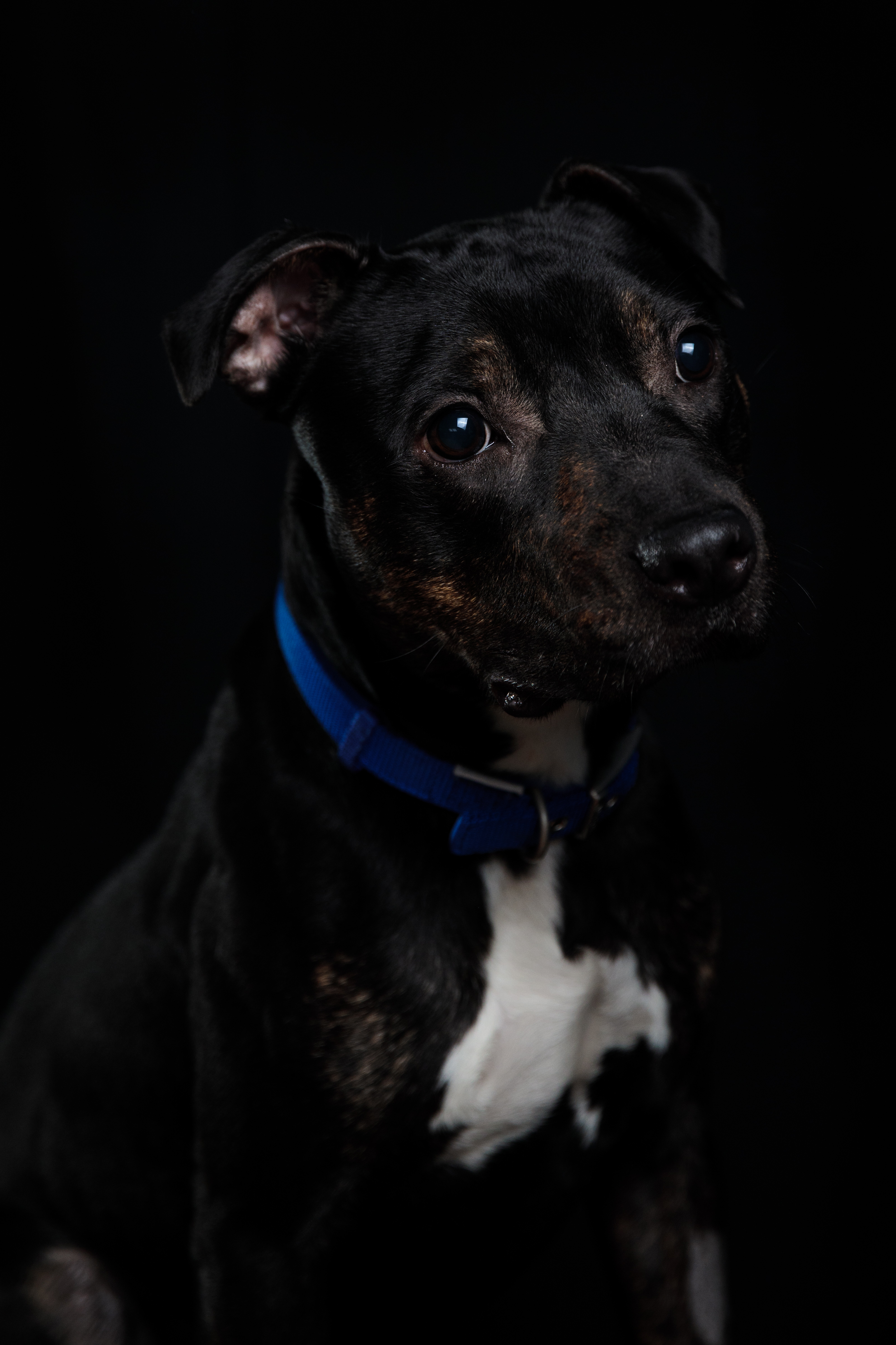 A representative picture of a Staffordshire Terrier (Getty Images)