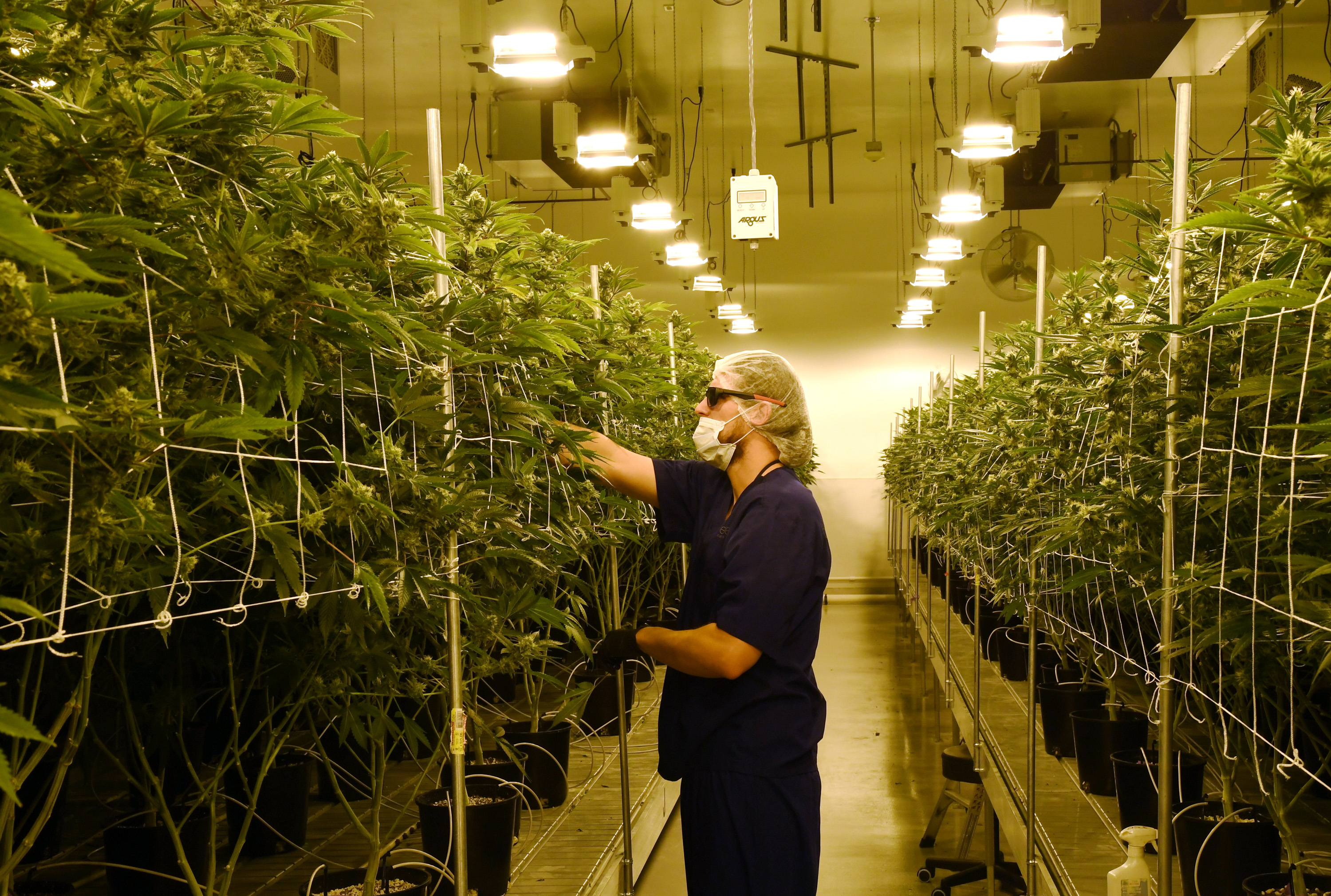 David Burr demonstrates removing leaves on marijuana plants to allow more light for growth at Essence Vegas' 54,000-square-foot marijuana cultivation facility on July 6, 2017 in Las Vegas, Nevada.