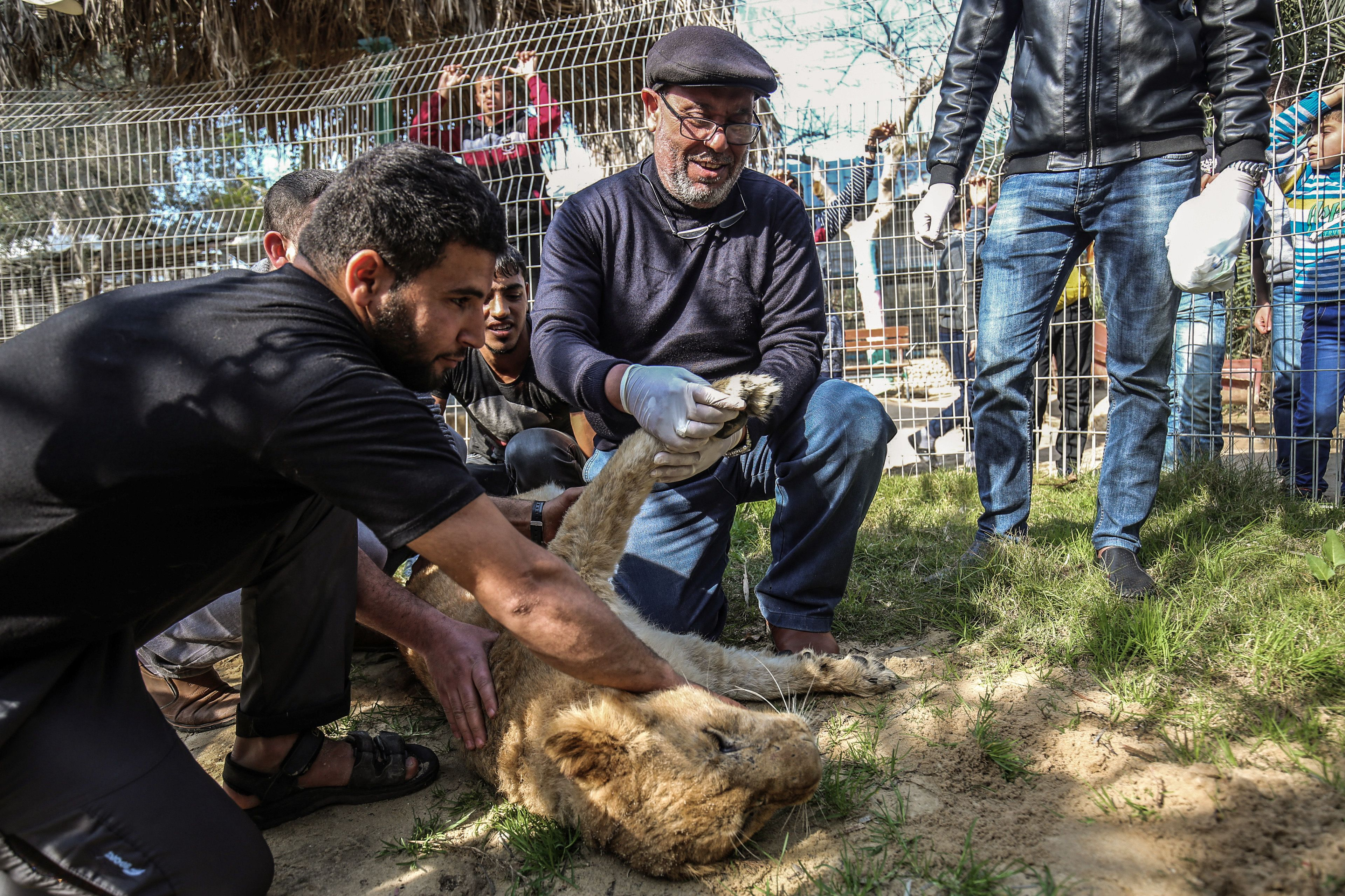 Palestinian veterinarian Fayyaz al-Haddad, holds the paw of the lioness 'Falestine' after being declawed, at the Rafah Zoo in the southern Gaza Strip on February 12, 2019. - The zoo in the war-battered Palestinian enclave is promoting itself as offering the chance to play with the 14-month-old declawed lioness, which is supposed to be placid enough to meet visitors. It is the latest unconventional animal care practice in Gaza where there is no specialized animal hospital with a few dilapidated zoos competing for business (Getty Images)