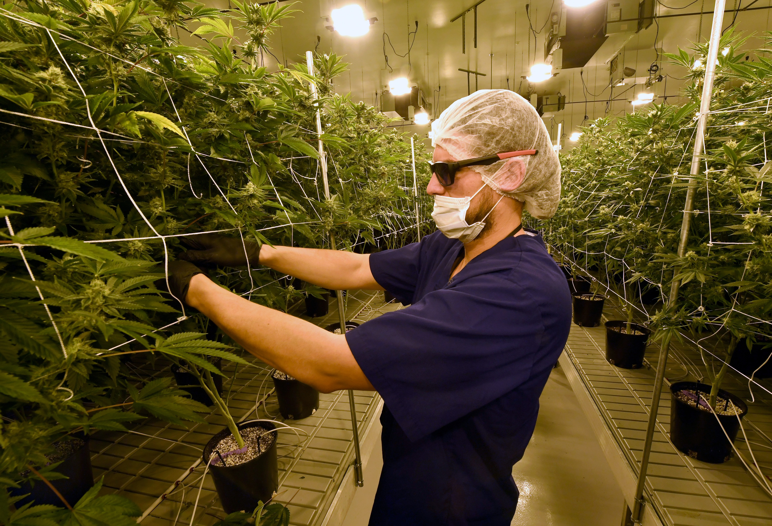 David Burr demonstrates removing leaves on marijuana plants to allow more light for growth at Essence Vegas' 54,000-square-foot marijuana cultivation facility on July 6, 2017 in Las Vegas, Nevada. (Getty Images)