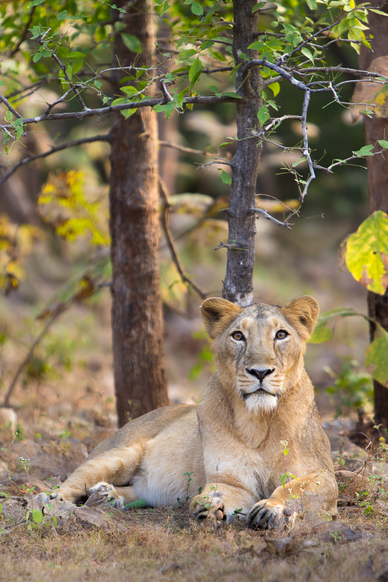A female Asiatic lioness at Gir Forest, Gujarat, India. (Wikipedia)