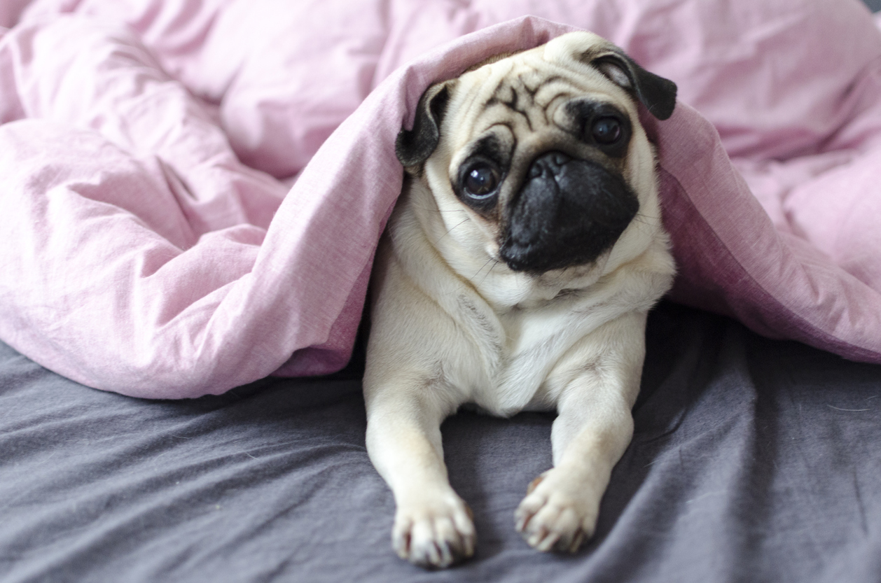 The pug has a high value because it's a thoroughbred dog (Source: iStock by Getty Images)