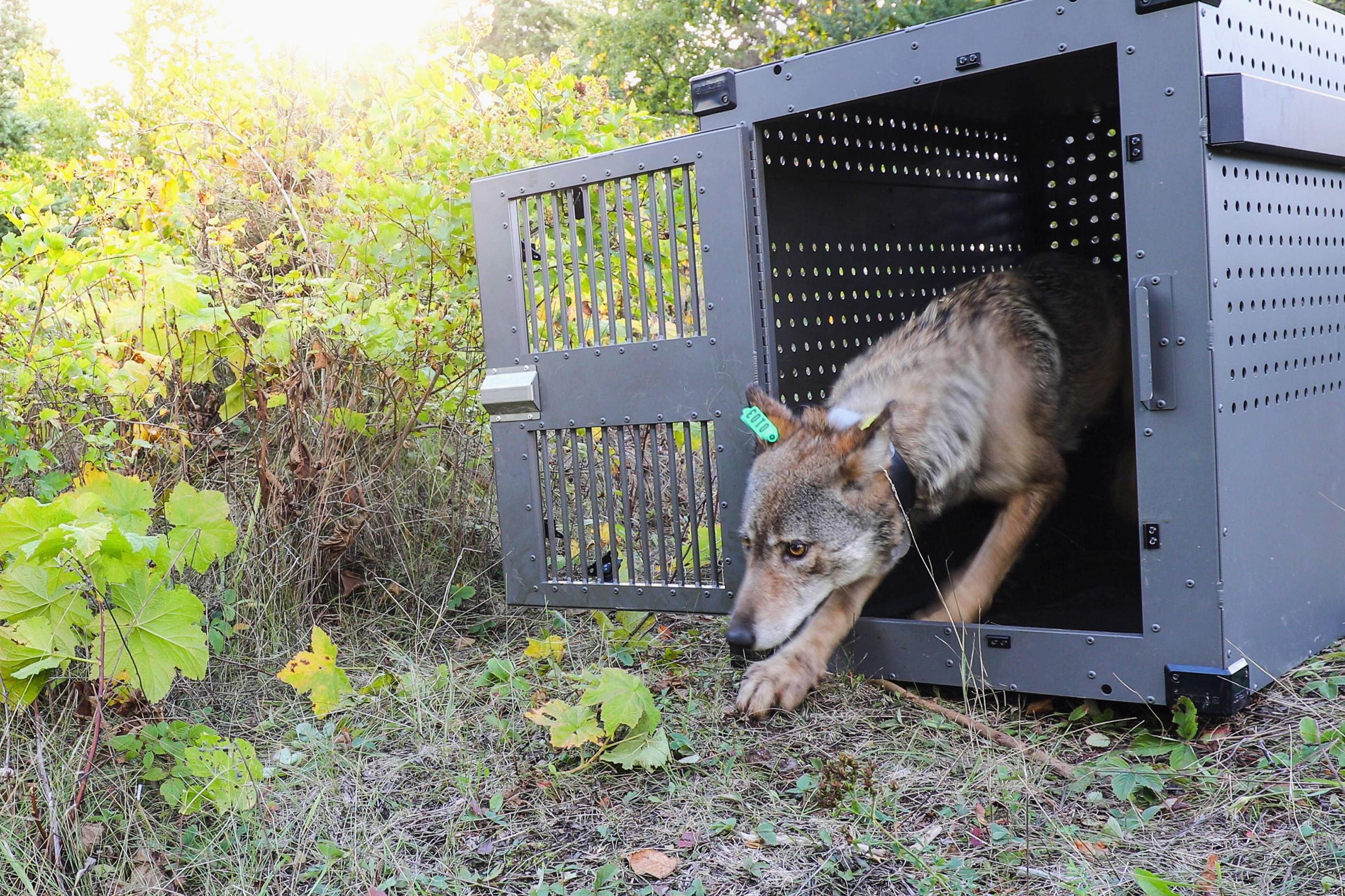 In this Sept. 26, 2018, file photo, provided by the National Park Service, a 4-year-old female gray wolf emerges from her cage as it released at Isle Royale National Park in Michigan. U.S. wildlife officials plan to lift protections for gray wolves across the Lower 48 states, a move certain to re-ignite the legal battle over a predator that's rebounding in some regions and running into conflicts with farmers and ranchers, an official told The Associated Press. (National Park Service via AP, File)