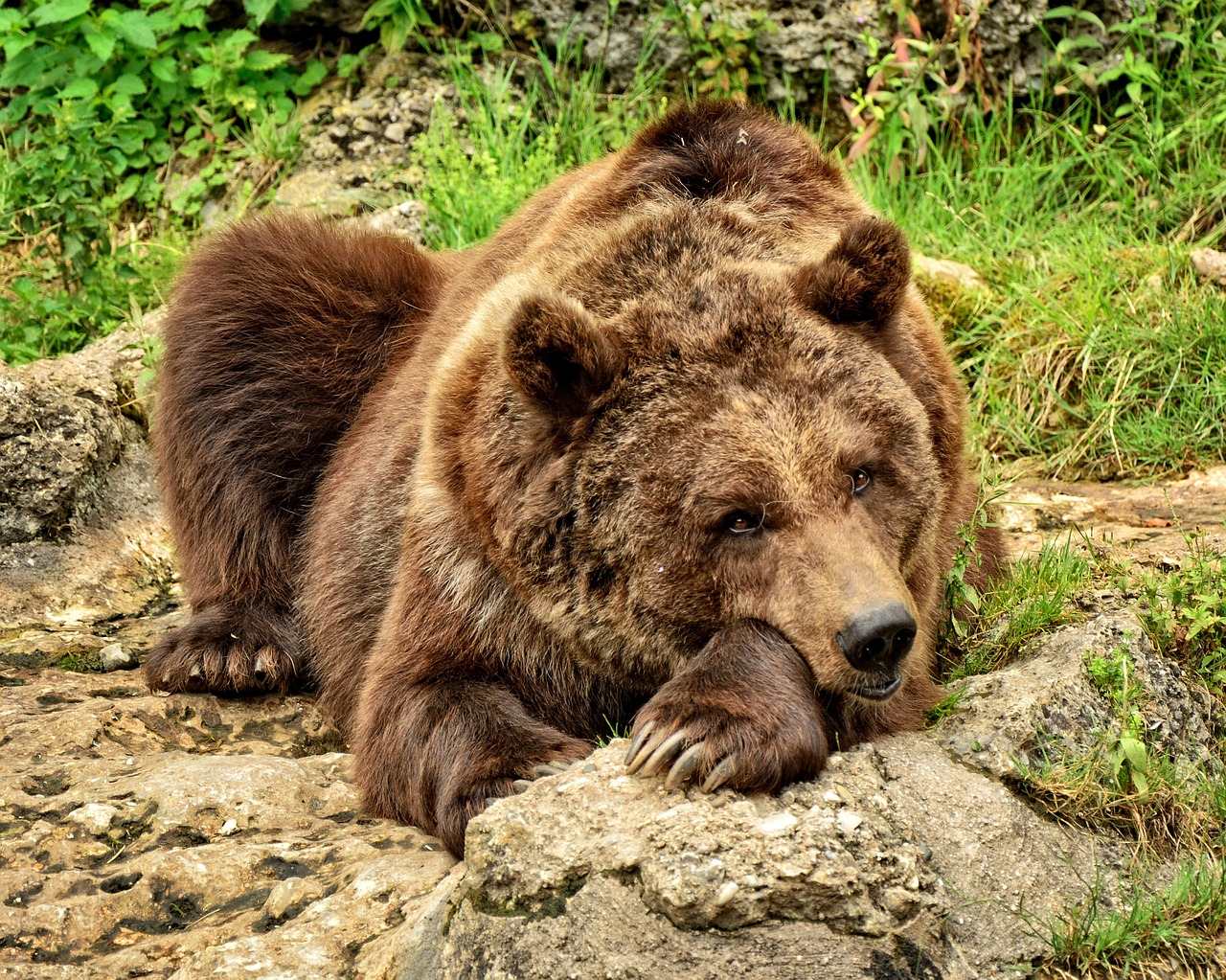 Local authorities have insisted the bears will not be killed (Source: Pixabay)
