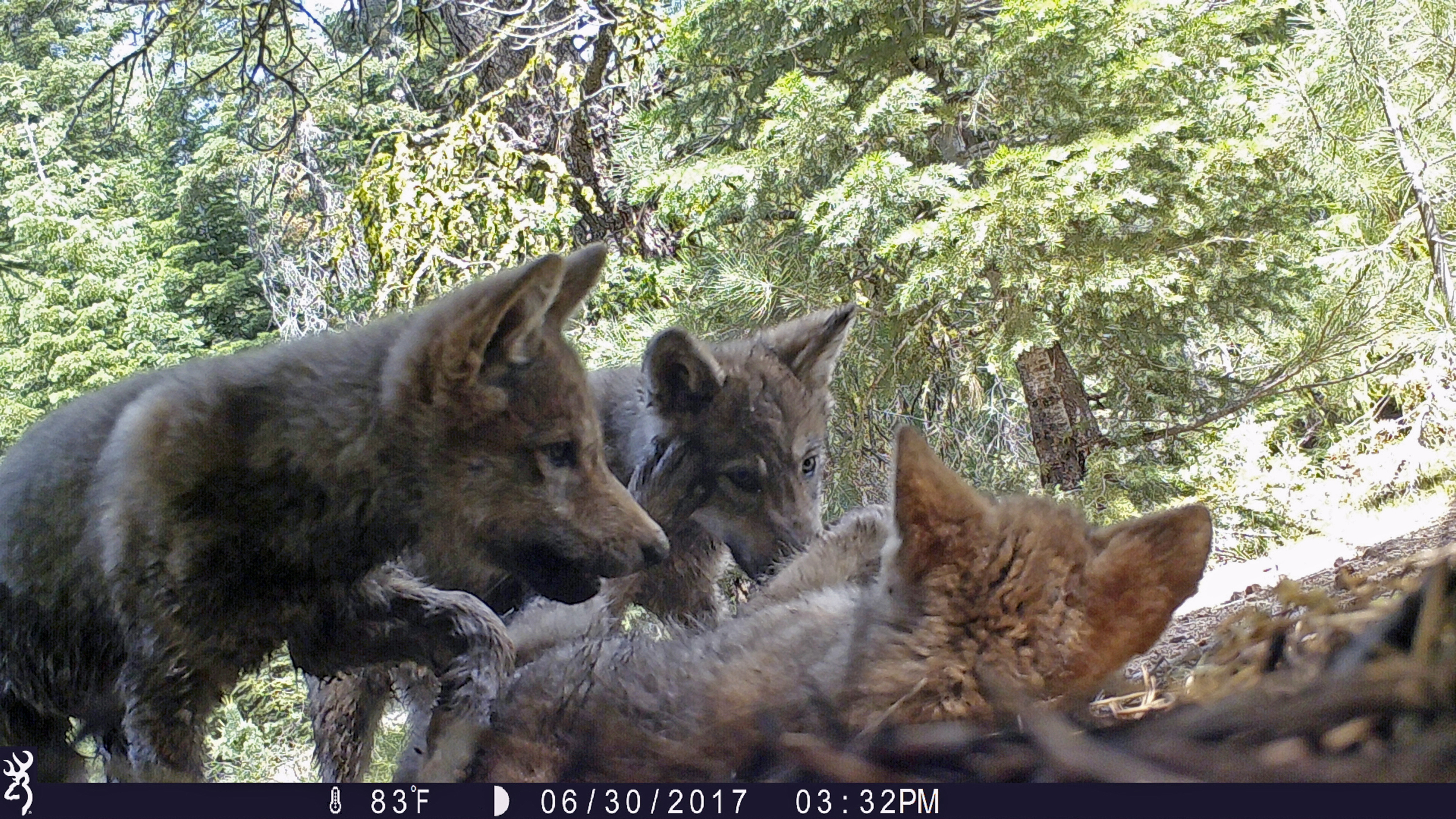 This June 30, 2017 remote camera image released by the U.S. Forest Service shows a female gray wolf and her mate with a pup born in 2017 in the wilds of Lassen National Forest in Northern California. U.S. wildlife officials plan to lift protections for gray wolves across the Lower 48 states, re-igniting the legal battle over a predator that's run into conflicts with farmers and ranchers after rebounding in some regions, an official told The Associated Press, Wednesday, March 6, 2019. (U.S. Forest Service via AP, File)